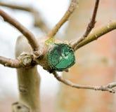 Ramo podado fresco da maçã no inverno fotografia de stock