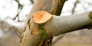 Ramo podado fresco da maçã no inverno fotografia de stock royalty free