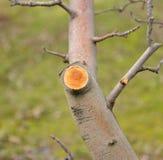 Ramo podado fresco da maçã no inverno fotos de stock