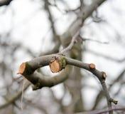 Ramo podado fresco da maçã no inverno imagem de stock