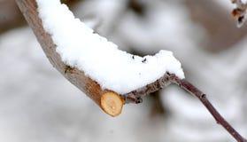 Ramo podado fresco da maçã no inverno imagens de stock royalty free