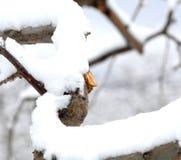 Ramo podado fresco da maçã no inverno fotos de stock royalty free