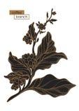 Ramo preto da árvore de café Choque dourado Ilustração botânica Vetor Foto de Stock Royalty Free