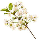 Ramo realístico de florescência da cereja Eps 10 Imagens de Stock Royalty Free