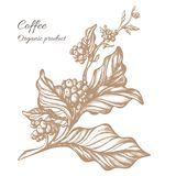 Ramo realístico do café Desenho botânico do contorno Vetor Foto de Stock Royalty Free