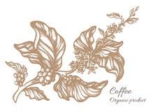 Ramo realístico do café Desenho botânico do contorno Vetor Fotografia de Stock