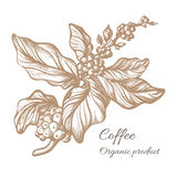 Ramo realístico do café Desenho botânico do contorno Vetor Fotografia de Stock Royalty Free