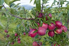 Ramo real das maçãs da gala Imagens de Stock