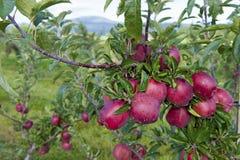 Ramo reale delle mele di galà Immagini Stock