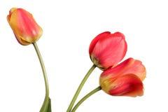 ramo Rojo-amarillo de la flor Tres tulipanes aislados en un blanco fotos de archivo