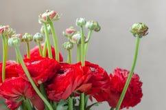 Ramo rojo colorido de primavera del ranúnculo de las flores fotos de archivo libres de regalías