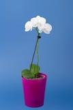 Ramo romântico da orquídea branca Fotografia de Stock