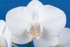 Ramo romântico da orquídea branca Imagem de Stock