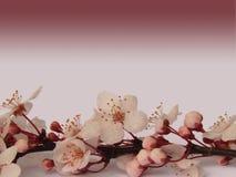Ramo rosa del fiore di ciliegia di sakura con il fondo rosa scuro di pendenza Immagini Stock
