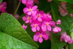 Ramo rosa del ` s del fiore con le foglie verdi Fotografie Stock Libere da Diritti