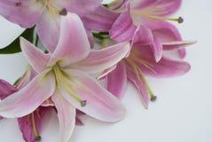 Ramo rosado hermoso de la flor del lirio aislado en el fondo blanco Flor en la esquina Fotos de archivo libres de regalías