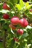 Ramo rosso delle mele di galà Fotografie Stock