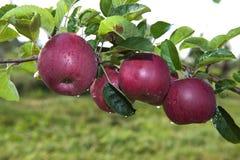 Ramo rosso delle mele di galà Immagini Stock Libere da Diritti