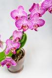 Ramo roxo da orquídea Fotografia de Stock Royalty Free