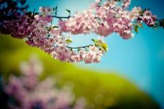Ramo Sakura Pink Cherry Blossoms contra o céu azul claro Imagens de Stock