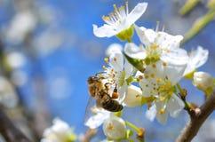 Ramo sbocciante con il fiore del ciliegio e di un'ape del miele Fotografia Stock