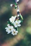 Ramo sbocciante della molla di un albero da frutto con i fiori bianchi Fotografia Stock Libera da Diritti