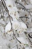 Ramo sbocciante di melo coperto di neve Fotografie Stock Libere da Diritti