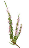 Ramo sbocciante rosa-chiaro dell'erica su bianco Immagini Stock