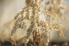 Ramo secado da planta flores secadas iluminadas pelo sol Herb?rio fotos de stock royalty free