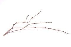 ramo seco no fundo branco Foto de Stock Royalty Free
