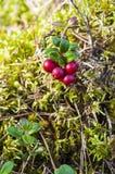 Ramo selvagem do Lingonberry na grama musgoso Fotos de Stock