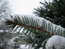 Ramo sempre-verde coberto de neve no dia nublado imagem de stock royalty free