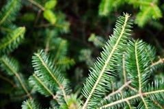 Ramo sempreverde del cedro in foresta fotografia stock libera da diritti