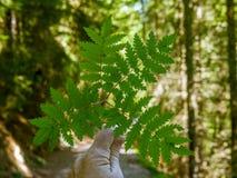 Ramo simmetrico con le foglie in una foresta svizzera - 2 Immagine Stock Libera da Diritti