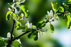Ramo soleggiato della mela in fioritura Immagine Stock Libera da Diritti