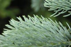 Ramo spruce azul Fotografia de Stock