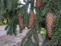 Ramo spruce Carpathian com cones Fotografia de Stock Royalty Free