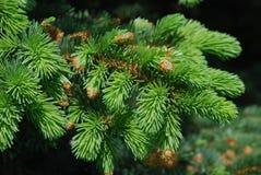 Ramo Spruce da árvore Foto de Stock Royalty Free