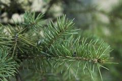 Ramo Spruce na floresta Fotos de Stock