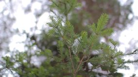 Ramo Spruce na floresta do inverno filme