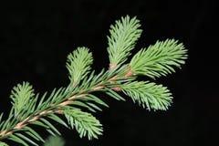 Ramo spruce verde no jardim em um close up preto do fundo Imagem de Stock Royalty Free