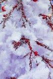 Ramo stagionale dell'abete bianco del Colorado di inverno di Natale con il berrie rosso della sorba fotografie stock