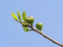 Ramo tenero del fico con i frutti non maturi e le piccole nuove foglie Fotografie Stock