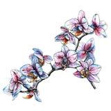 Ramo tirado mão da orquídea Ilustração do vetor do estilo da aquarela Fotografia de Stock