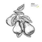 Ramo tirado mão da pera Ilustração gravada vetor Fruto natural suculento Ingrediente saudável do alimento Para cozinhar ilustração royalty free