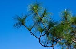 Ramo tropical do pinho Imagem de Stock