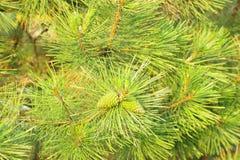 Ramo verde conifero Fotografia Stock Libera da Diritti