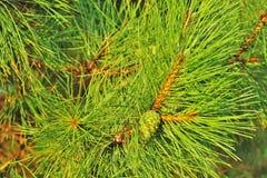 Ramo verde conifero Immagini Stock Libere da Diritti