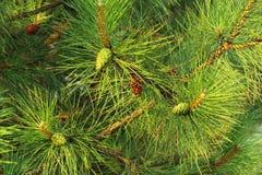 Ramo verde conifero Immagini Stock