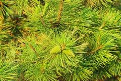 Ramo verde conifero Fotografie Stock Libere da Diritti